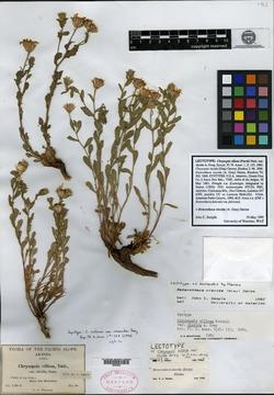 Heterotheca viscida image