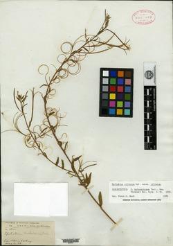 Image of Epilobium holosericeum