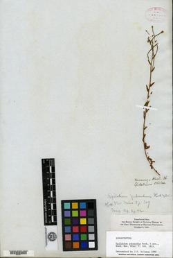 Epilobium puberulum image