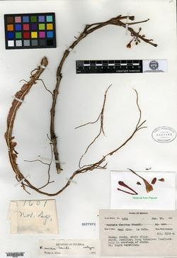 Image of Fuchsia decidua