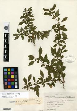 Image of Fuchsia parviflora