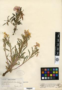 Image of Anogra rhizomata