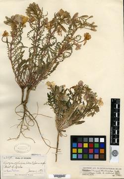 Image of Anogra violacea