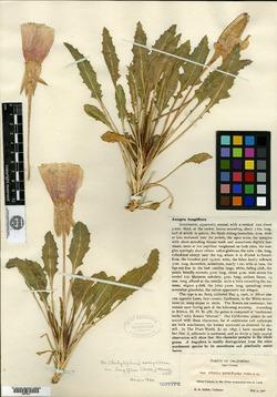 Image of Anogra longiflora