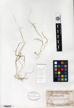 Paspalum galapageium image