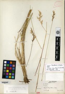Image of Danthonia filifolia