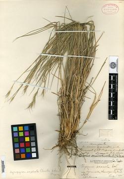 Image of Elymus saxicolus