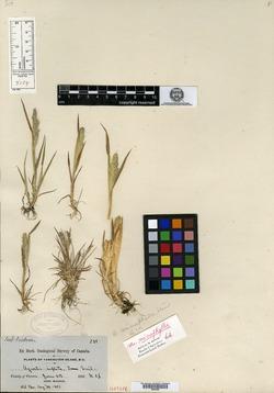 Agrostis inflata image