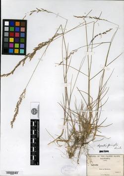 Image of Agrostis pringlei