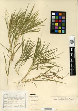 Image of Panicum bushii