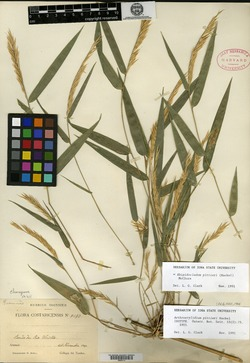 Rhipidocladum pittieri image