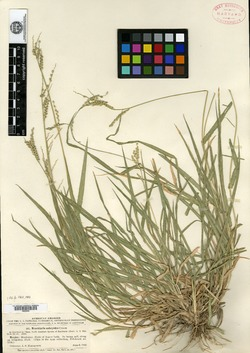 Image of Urochloa ophryodes