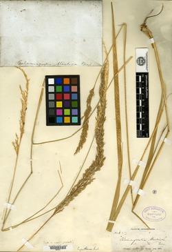 Image of Calamagrostis aleutica