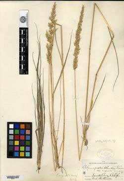 Calamagrostis aleutica image