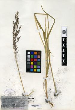 Calamagrostis bolanderi image