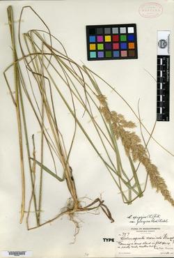 Image of Calamagrostis arenicola