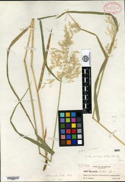 Image of Calamagrostis lactea