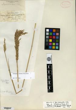 Image of Calamagrostis subflexuosa