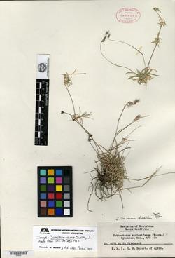 Image of Cathestecum varium