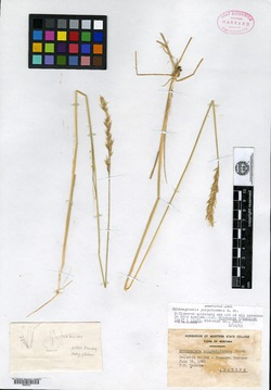 Image of Deschampsia congestiformis