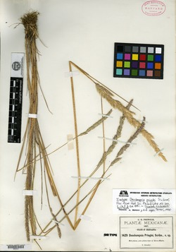 Image of Deschampsia pringlei