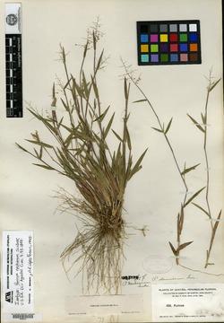 Image of Panicum nashianum