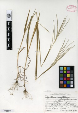 Image of Digitaria multiflora