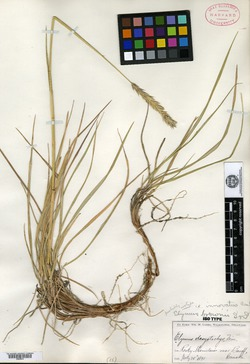 Image of Elymus brownii