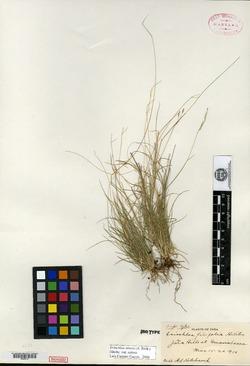 Image of Eriochloa filifolia
