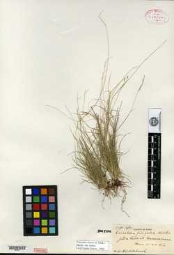 Eriochloa filifolia image
