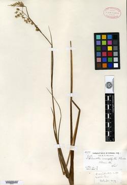 Image of Hierochloe macrophylla