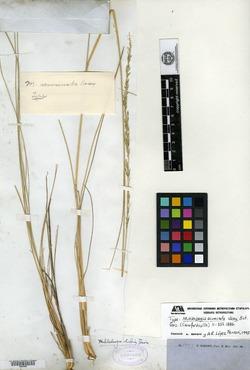 Image of Muhlenbergia acuminata