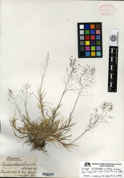 Muhlenbergia arizonica image