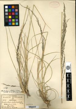 Image of Muhlenbergia distans