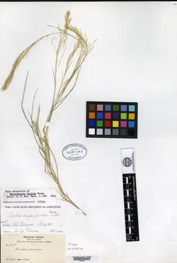 Image of Muhlenbergia flavida