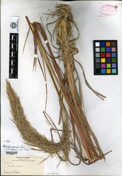 Muhlenbergia grandis image