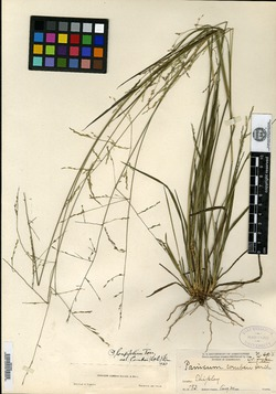 Image of Panicum combsii