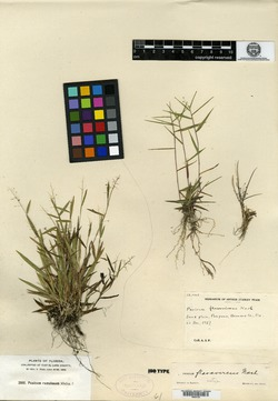 Image of Panicum flavovirens