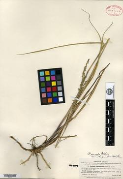 Image of Panicum rhizomatum