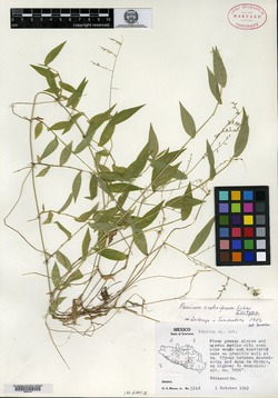 Image of Panicum crateriferum