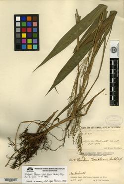 Image of Panicum tuerckheimii