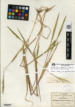 Image of Panicum vaseyanum