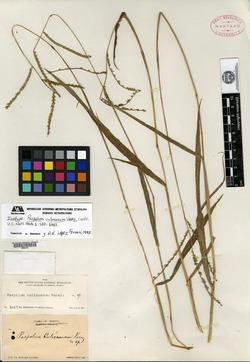 Image of Paspalum culiacanum