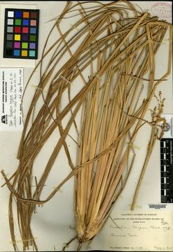 Image of Paspalum longum