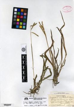 Image of Paspalum mutabile