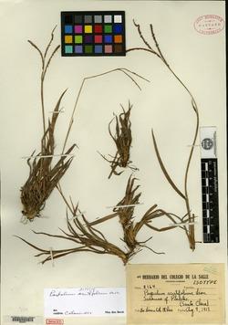 Image of Paspalum acutifolium