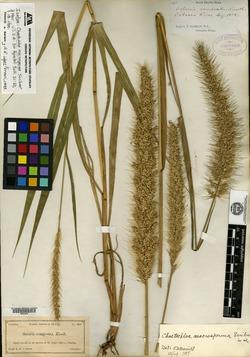 Image of Chaetochloa macrosperma