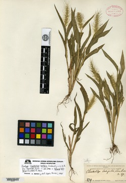Image of Setaria latifolia