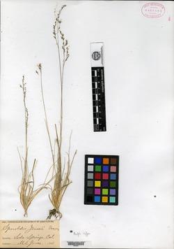 Image of Sporobolus jonesii