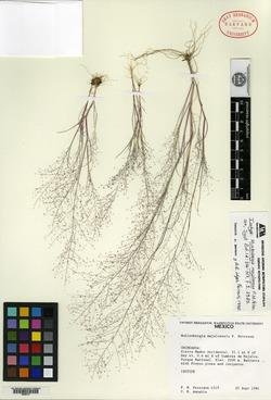 Image of Muhlenbergia majalcensis
